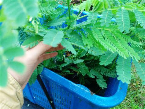Bibit Pohon Sengon pak madi dan pohon sengonnya sang penyelamat lingkungan