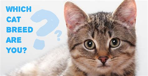 which breed are you which cat breed are you the meow post
