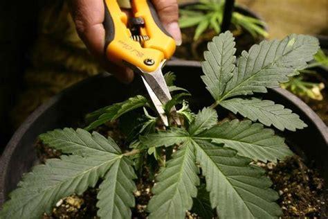 poda marihuana interior los 2 tipos de poda m 225 s usados de grow barato