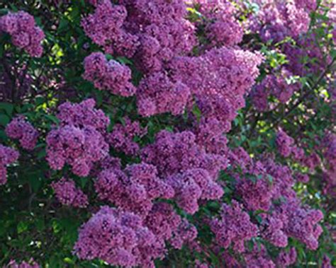 when to prune flowering shrubs pruning flowering shrubs whav