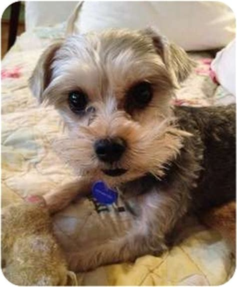 yorkie terrier mix for sale poodle boxer mix breeds picture