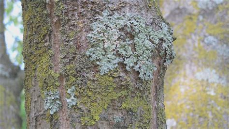 fruit tree fungus identification how to brown rot fungus on plum trees ehow