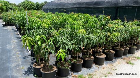 soursop fruit tree for sale pine island fruit market gets better each year the