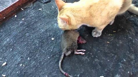 imagenes de ratas halloween gato vs rata youtube