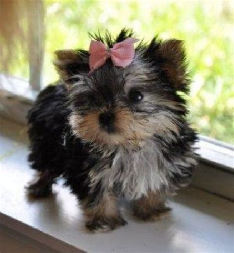 yorkie puppies ct 1000 ideas about yorkie puppies for adoption on teacup yorkie for