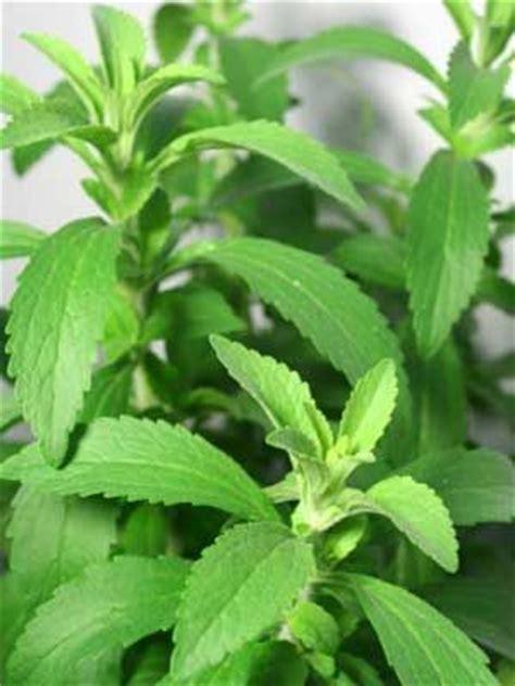 Plante De Stevia by Stevia Grow Guide