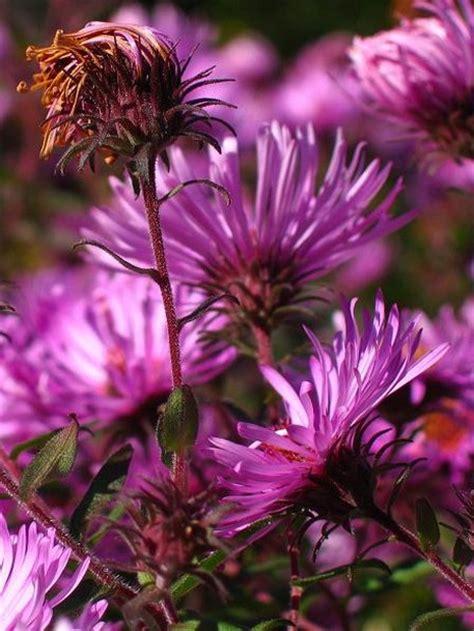 Garden Aster Flowers Jpg Aster Flower Gallery