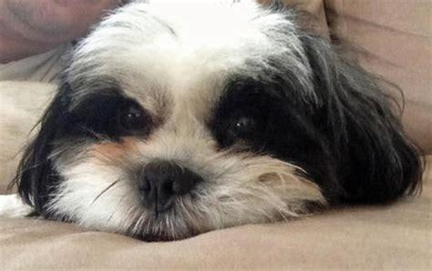 how do maltese shih tzu live burt the shih tzu dogs daily puppy