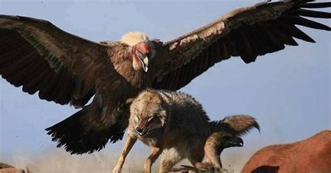 stunning wildlife on coyotes vulture and birds of prey