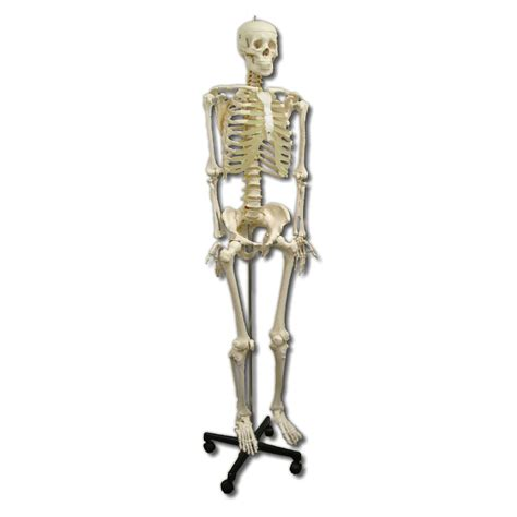 a skeleton anatomical model size skeleton sports supports