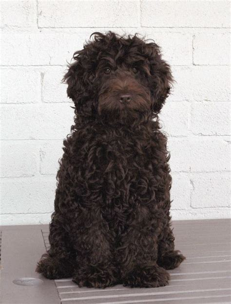 brown labradoodle puppy best 25 brown labradoodle ideas on chocolate labradoodle puppies brown