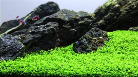 Aquascape Plant Micranthemum Monte Carlo Out Of Stock