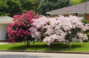 crape myrtle colors summertime gardening questions east gardening