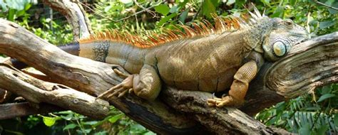 Canopy Amazon by Facts About Iguanas Information Pictures Amp Video