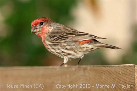 house finch california california house finch 28 images california house