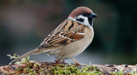 sparrow bird photos hd wallpapers