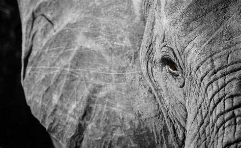 wallpaper elephant black white tag 1 moi en 30 questions nya s days
