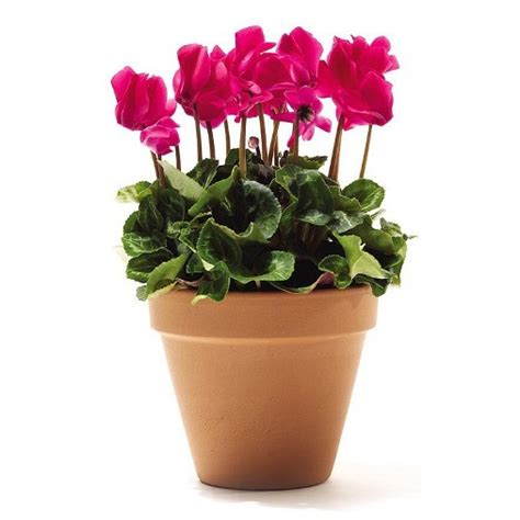 ciclamino in vaso ciclamino con vaso in cotto vaso 216 16cm vendita piante