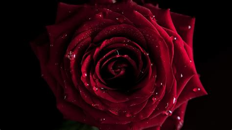 hd wallpapers for laptop rose red rose wallpapers pictures images
