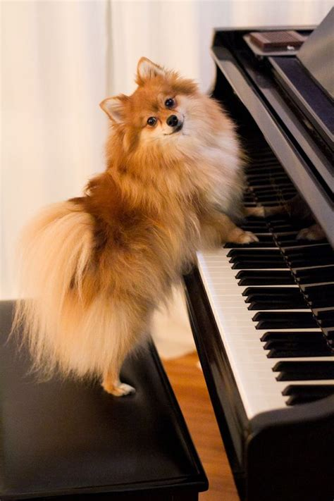 what do pomeranians like to play with 17 best images about dogs puppies on shetland sheepdog breeds