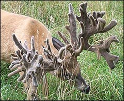 World Record Deer Rack by Image Gallery Largest Rack