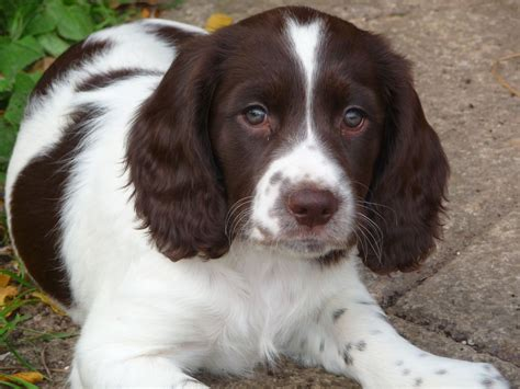 springer spaniel puppies springer spaniel puppies bridgwater somerset pets4homes