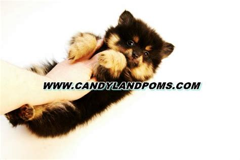 pomeranian puppies for sale in houston tx tiny teacup teddy pomeranian houston candylandpoms breeds picture