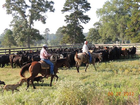how to a working cow fall cattle work