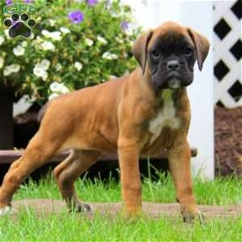 boxer puppies pa boxer puppies for sale in pa