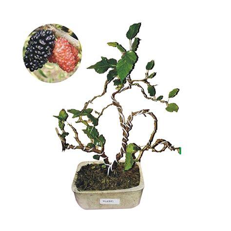 Bibit Tanaman Bonsai jual bibit tanaman murah bonsai murbei pulau jawa