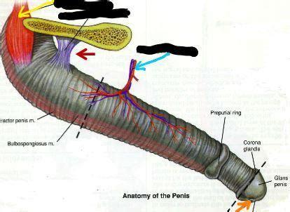 pelvis veterinary medicine   mansour  auburn