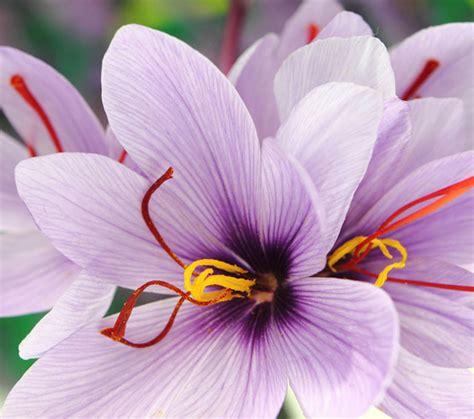 zafferano fiore zafferano biologico d angi 242 prodotti biologici