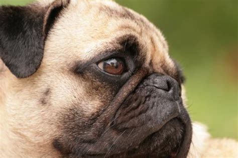 rspca pug the pugly why you should choose healthy every time rspca australia