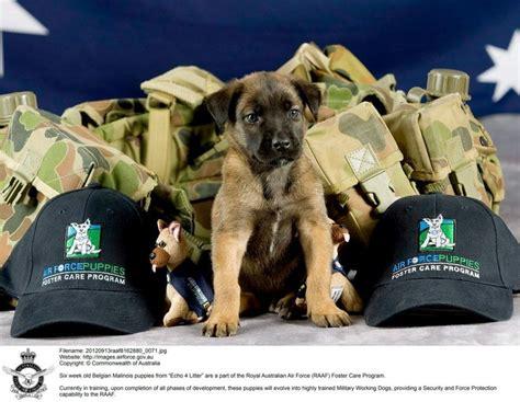 belgian malinois puppies malinois puppies and royal australian air on