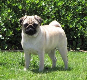 hill country pugs showgirls