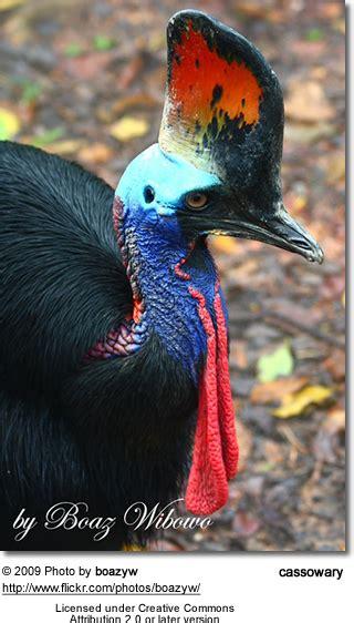 cassowaries beauty of birds