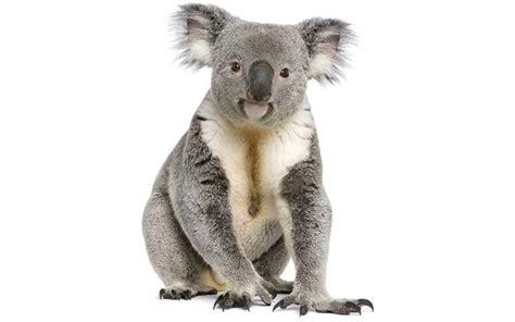 informacion de anses sobre los 800 pesos de ayuda escolar koala informaci 243 n y caracter 237 sticas