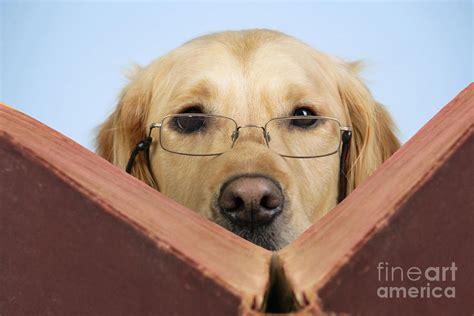 golden retriever books golden retriever reading book photograph by