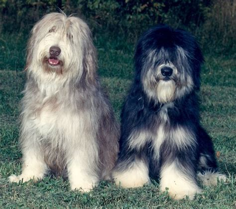 lowland sheepdog puppies lowland sheepdog puppies pon puppy buyers guide what is a pon puppy
