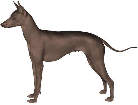 Xoloitzcuintle   Razas Perros   Mascotas