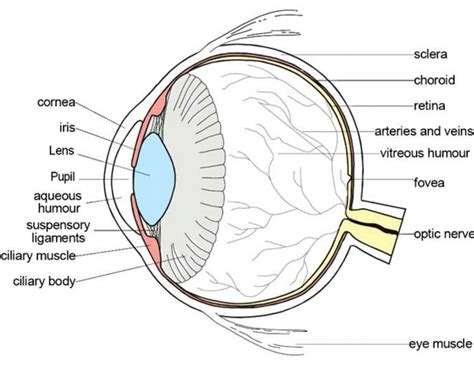 schematic section of the human eye eye diagram anatomy human anatomy diagram
