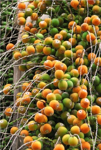 fruit of a palm tree palm tree fruit in orange and green fruits jpg 1 comment