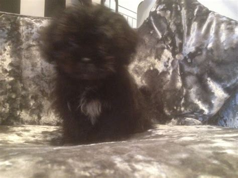 shih tzu for sale manchester re advertised 12 wk shih tzu pup for sale
