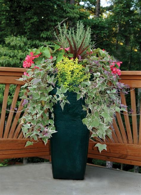 draping plants for pots holly fern container plants and concrete pots on pinterest
