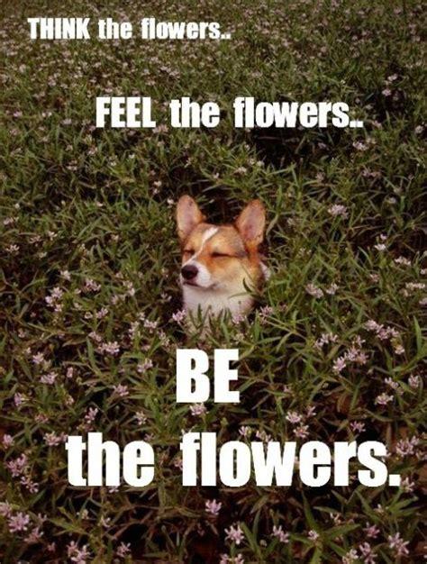Funny Corgi Memes - corgis memes zen corgi funny pictures meme and lol by