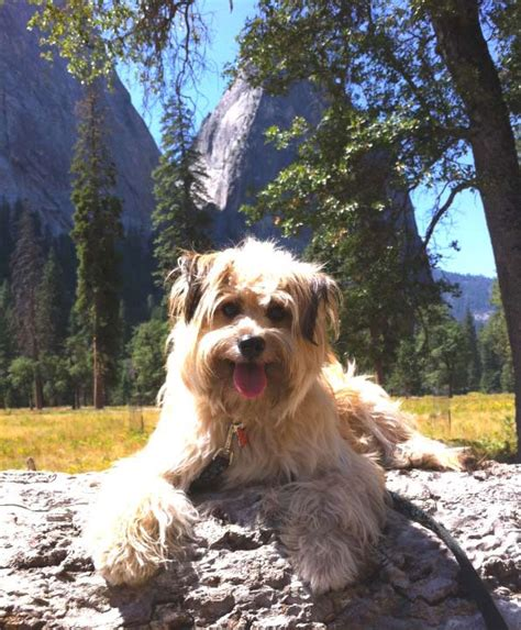 are dogs allowed in yosemite dogs at yosemite national park
