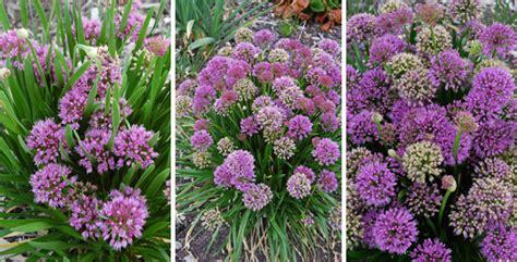 cottage garden plants australia plants management australia allium millennium