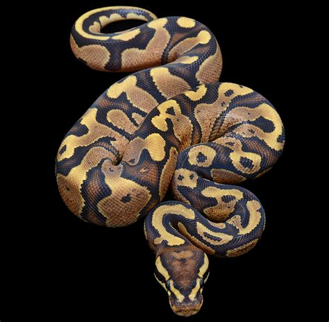 ball python heat l ballpython images reverse search