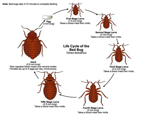 Do Bed Bugs Antennas by Bed Bugs