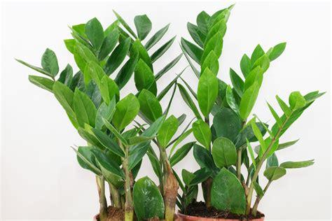 zamioculcas zamiifolia zamioculcas zimmerpflanzen